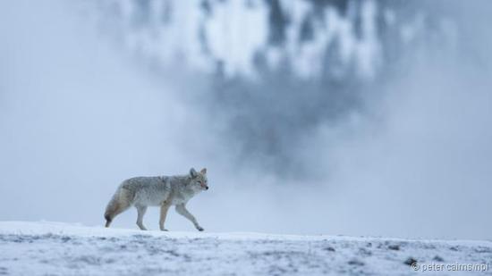 野外生存的郊狼。