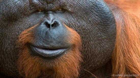 我们无法明白这只猩猩心里到底在想什么。