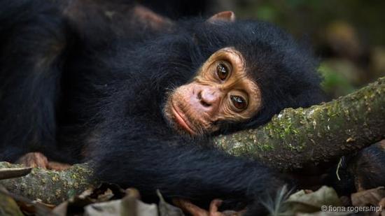 黑猩猩肯定会伤心,但抑郁的表情与伤心是不一样的。