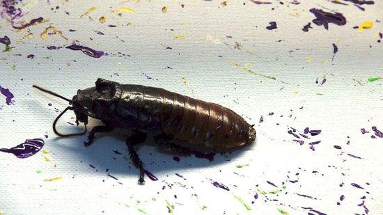 作画的蟑螂