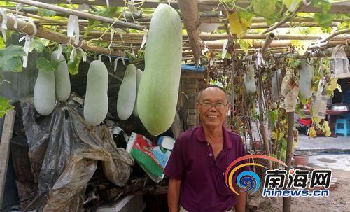 定安老汉莫位昌和他种植的冬瓜。