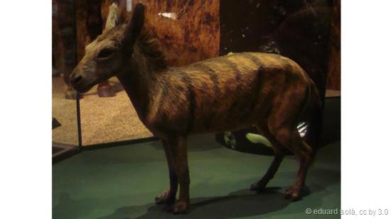 始祖马是一体形跟家猫大小差不多的马。