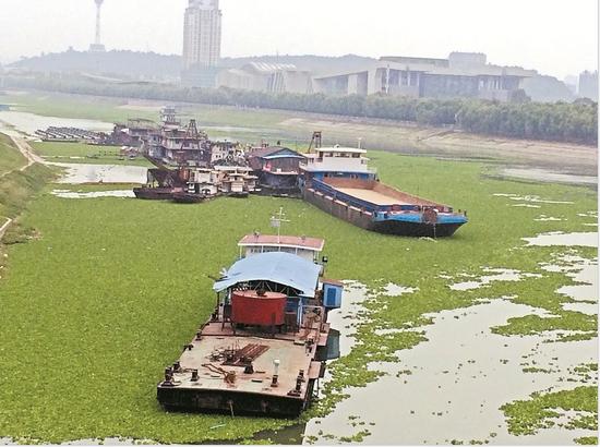 汉江武汉段江面又成绿茵场 每分钟漂1吨水白菜