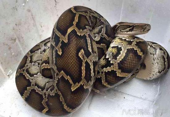 天花板上掉下来的大蟒蛇。南都记者李立君摄