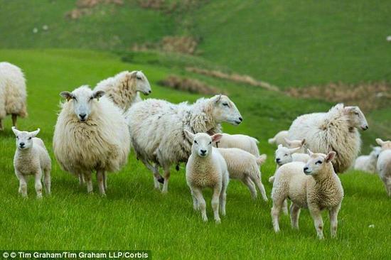 """通过研究羊的基因,科学家发现,一处名为""""垂体结节部""""(pars tuberalis)的大脑结构中的细胞会根据日光的多少做出特定的反应。这些所谓的""""日历细胞""""会在一年内发生明显的变化,正是它们决定了哺乳动物的生殖周期"""