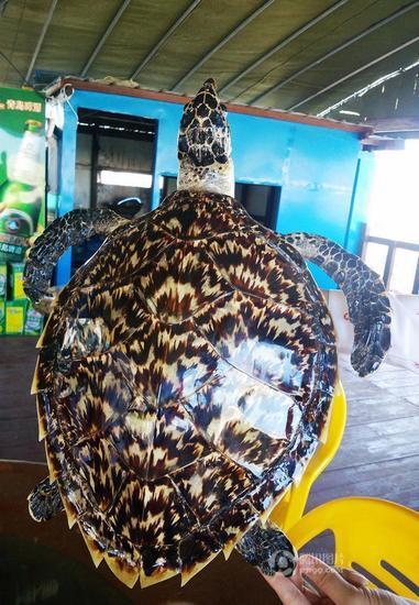 三亚海鲜店出售国家二级保护动物玳瑁(图)