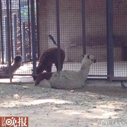 【北京动物园羊驼因投喂过量被隔离】原本应有羊驼原驼各3只散放的