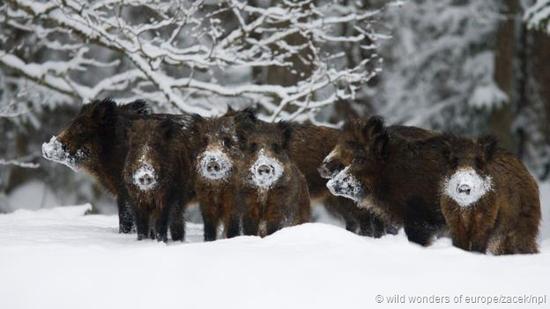 爱沙尼亚冰天雪地中的野猪。