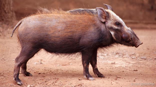 一头非洲灌丛野猪。