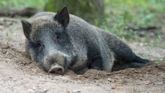 在烂泥里打滚的野猪。