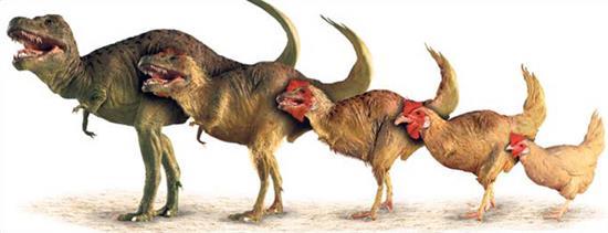 家鸡解剖手绘图