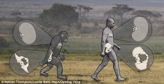图中显示了人类和黑猩猩行走时盆骨和肋骨的相对位置。虽然他们的动作从总体上来说有所不同,但人类盆骨和肋骨的动作频率和黑猩猩是相同的,说明我们的早期祖先身上的类人特征比我们原本以为的更多。