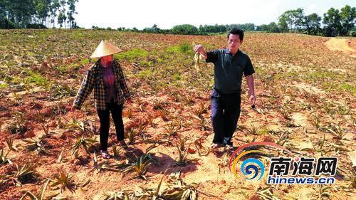 菠萝苗被毁的现场。南国都市报记者党朝锋摄