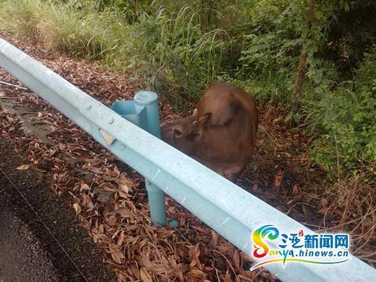 三亚交警在该车旁边还发现一头牛。(图片由三亚交警提供)
