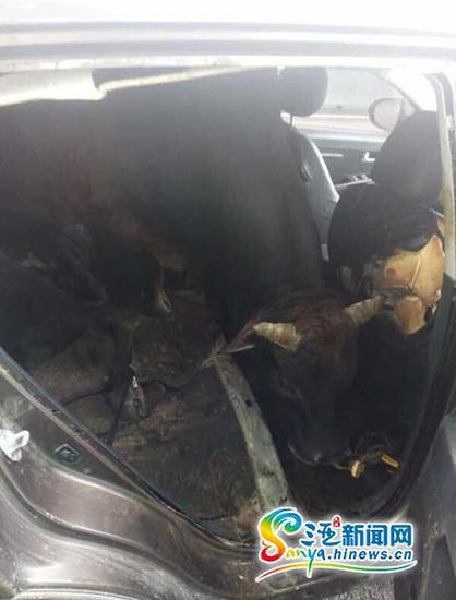 三亚交警在东线高速巡逻时,发现一头牛被装进了一辆轿车里。(图片由三亚交警提供)