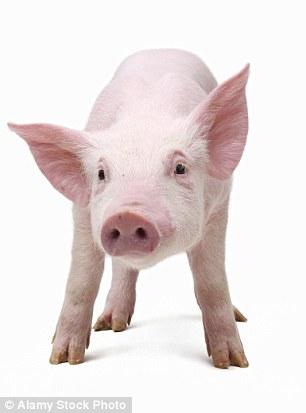 科学家已改良一些基因选择,以减少猪身上的器官移植到人体后产生的排异状况风险。