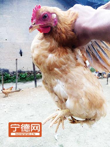 长四只脚的母鸡