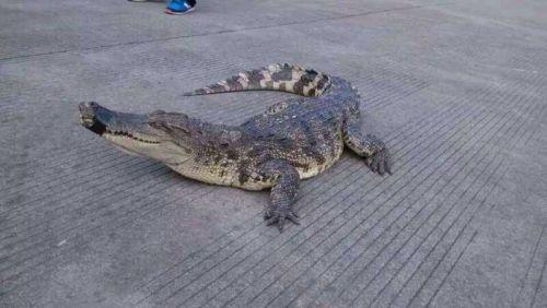 高速现大鳄鱼露出头东张西望