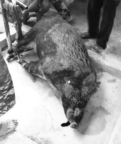 被打死的野山猪
