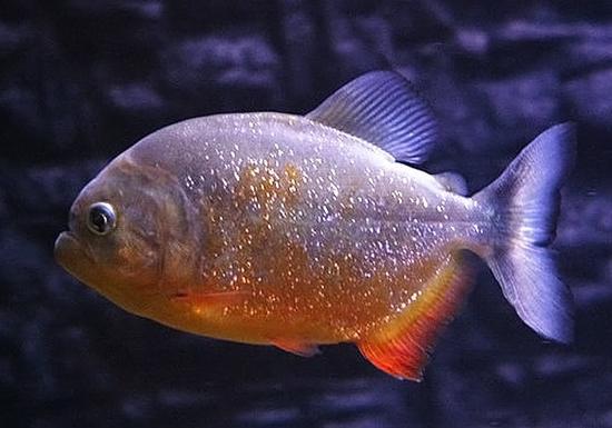胭脂食人鱼