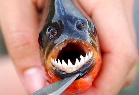 食人鱼的牙