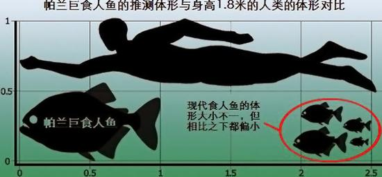 帕兰巨食人鱼与人类的体形对比