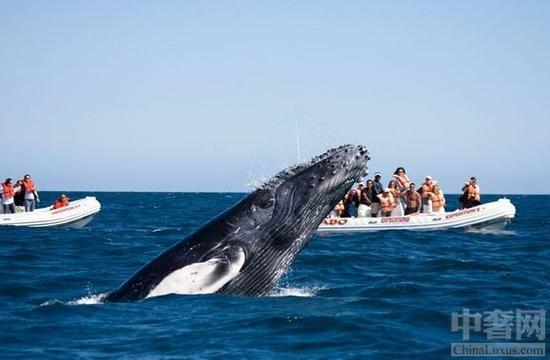 短暂而美妙的灰鲸观赏
