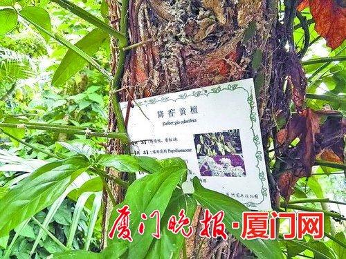 植物园降香黄檀