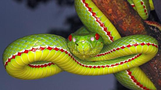 这条蝮蛇显然非常致命