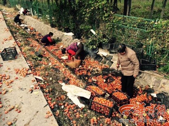 村民专心抢柿子