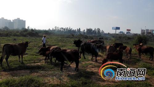 养牛基地的牛棚被强拆后,100多头牛散落荒野。
