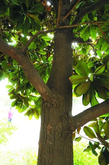 广玉兰叶片油光锃明,四节青。
