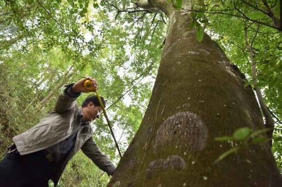 测量红豆树