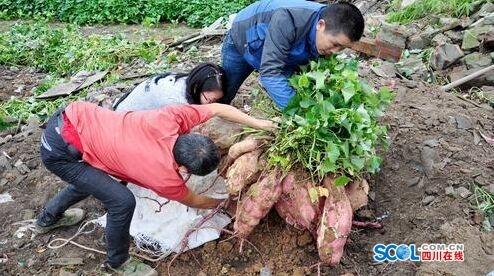 简阳农民种出190斤红苕王