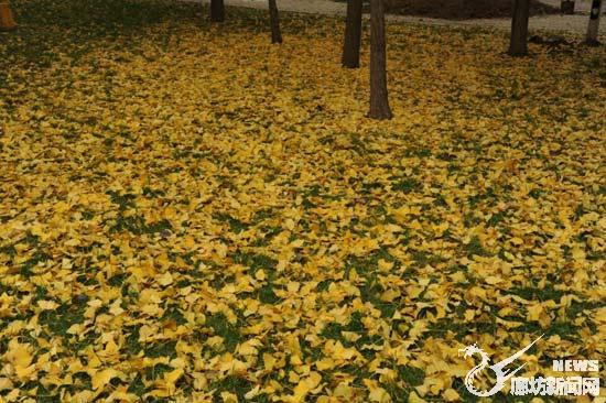 银杏树,日前银杏树的叶子煞是迷人.当你走进银杏树下,你会被