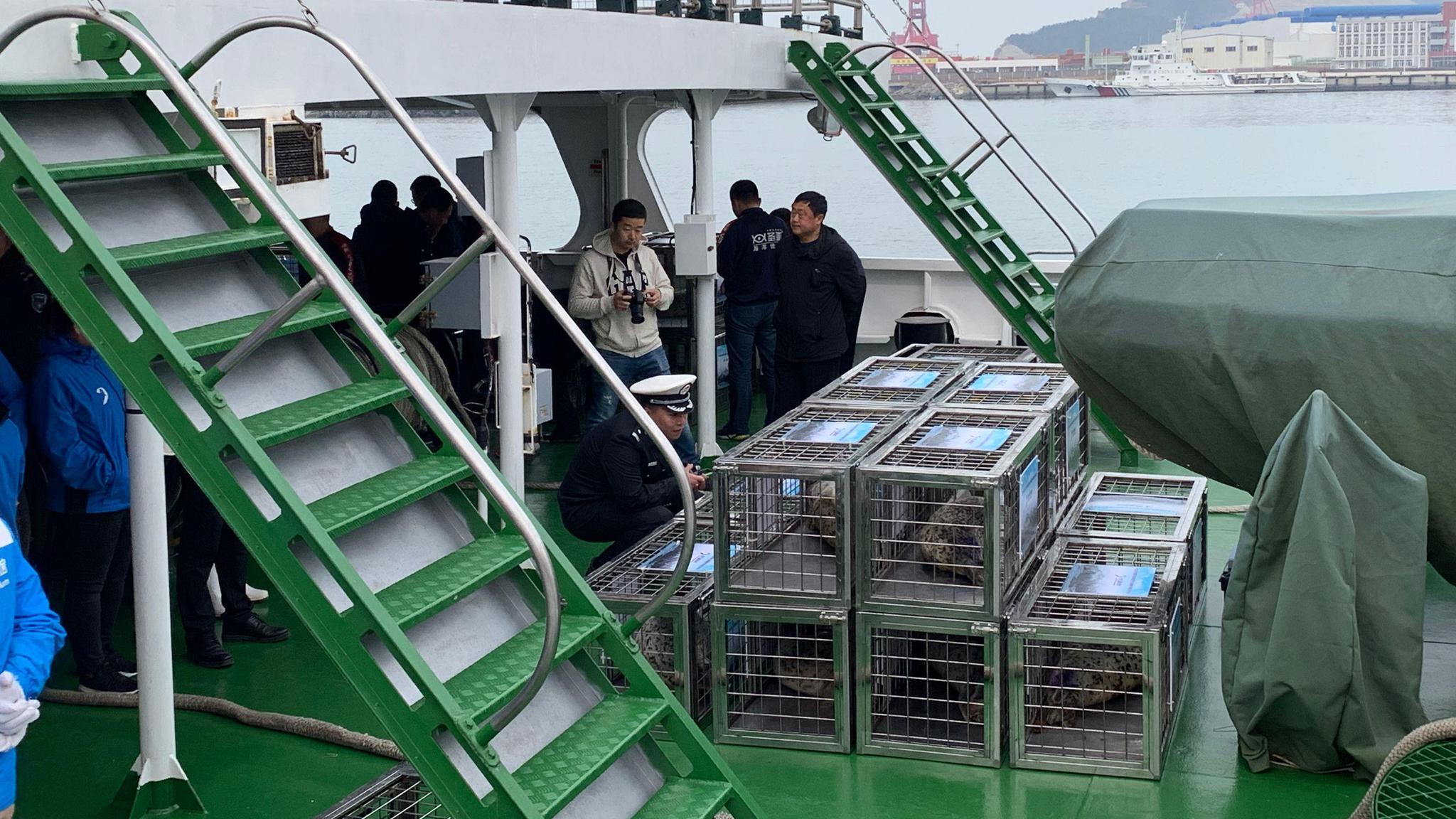 大连百头斑海豹被盗追踪:首批24头幸存幼崽被放生