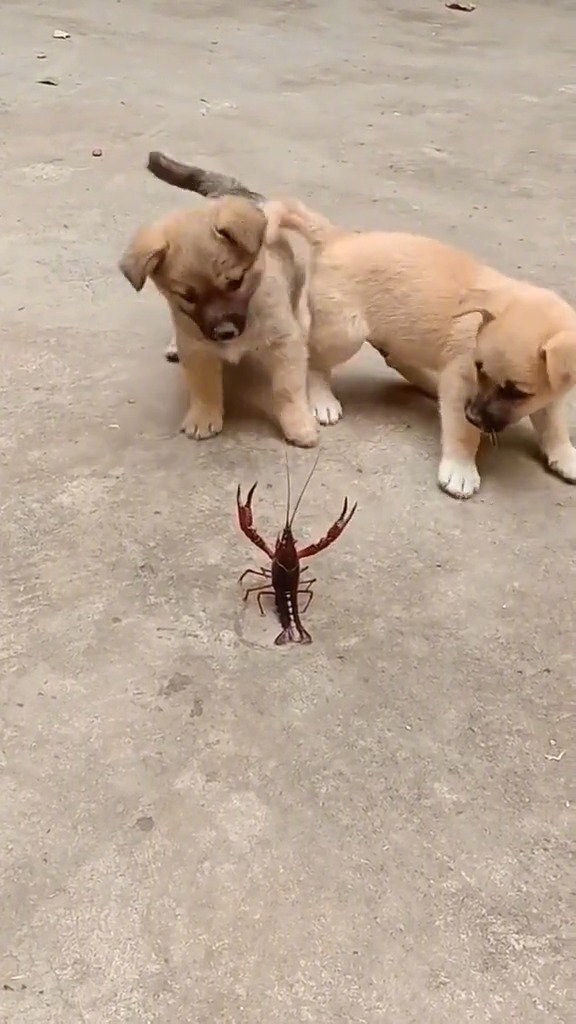 龙虾:你俩是在舞狮了么,我都准备接招半天了,到底还上不上啊?