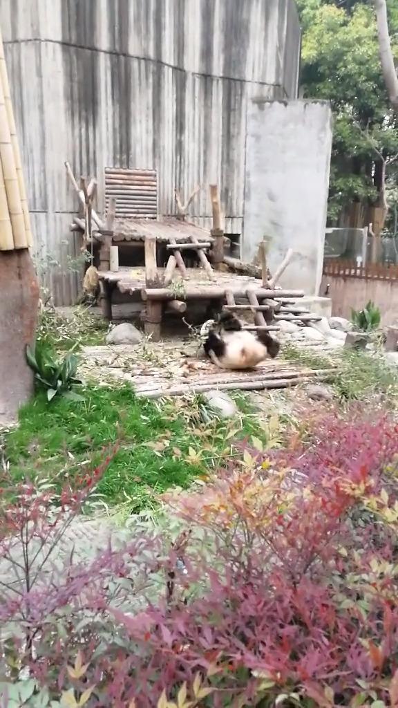 原来熊猫真的会功夫,看到这一幕,我确实信了!