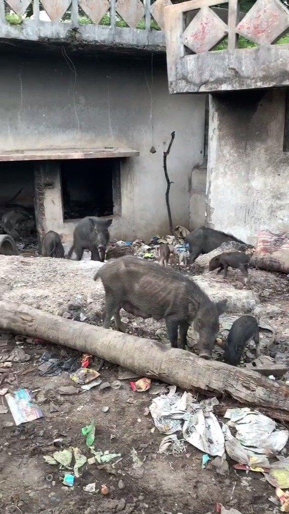 印度街头常见的二师兄,都是无人喂养的野生猪,这要放国内,隔个夜