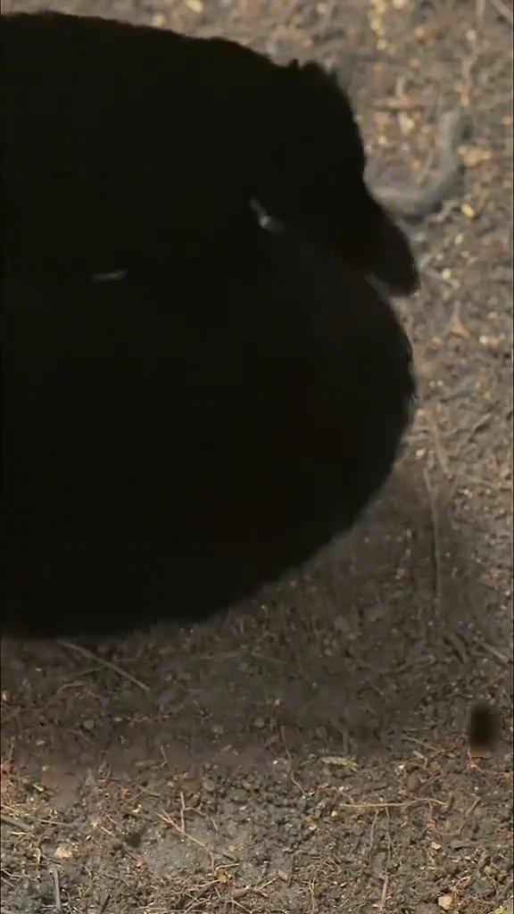 天堂鸟的求偶表演,自带小黑裙,眼睛还会变颜色,配上BGM真的