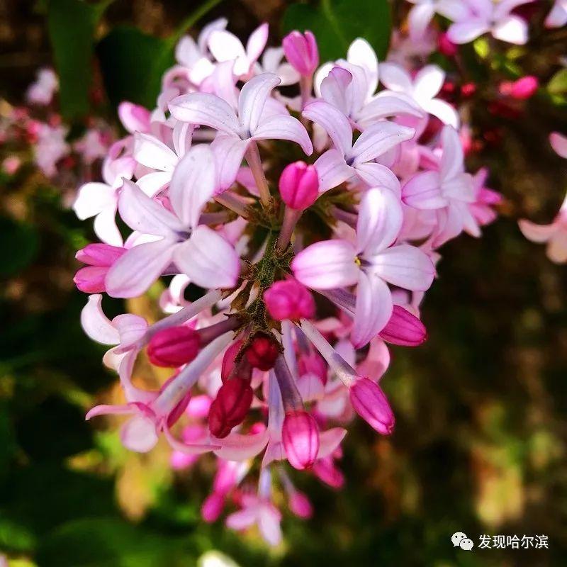 丁香花之于五月的哈尔滨比比皆是,触目可及.丁香花吉它谱图片