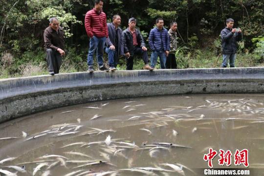 图为鱼池里的中华鲟全部死亡 颜新阳 摄