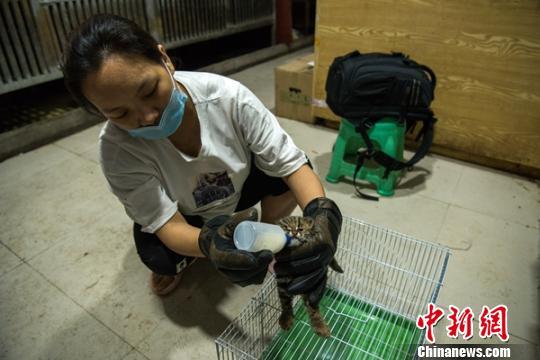 工作人员正在给豹猫幼崽喂奶。 姜永宁 摄