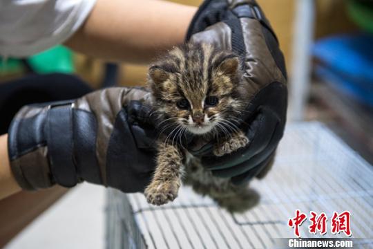 被救助的豹猫幼崽。 苏忠国 摄