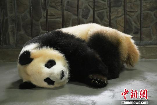 """大熊猫""""科琳""""和宝宝在一起。 钟欣 摄"""