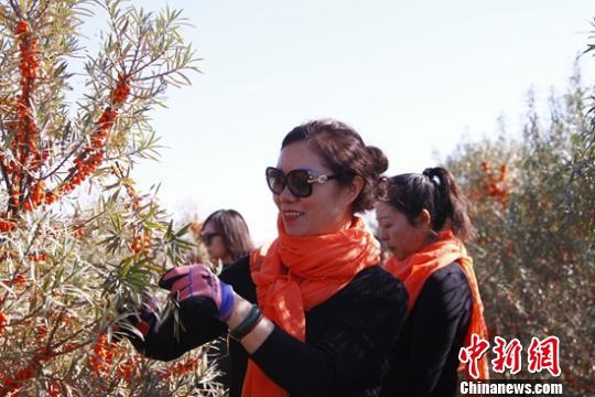 新疆青河首届沙棘丰收采摘节开幕 游客体验采摘乐趣