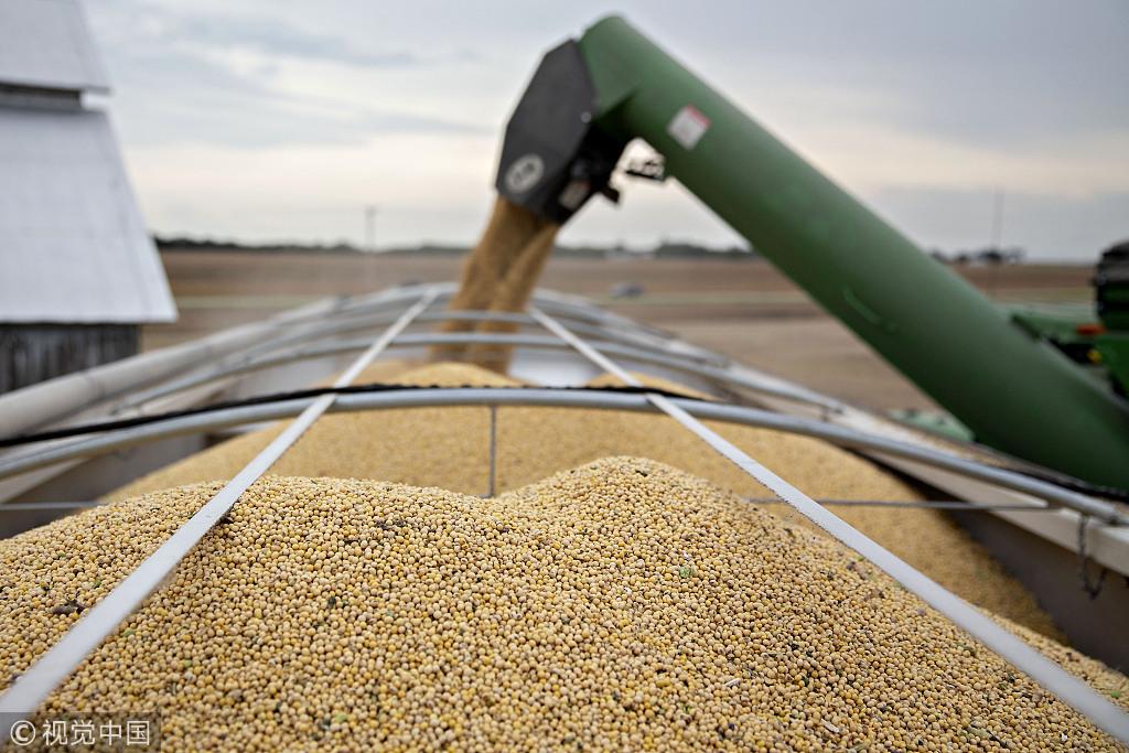 豆农们指望着在大豆腐烂前价格能涨回去 @视觉中国