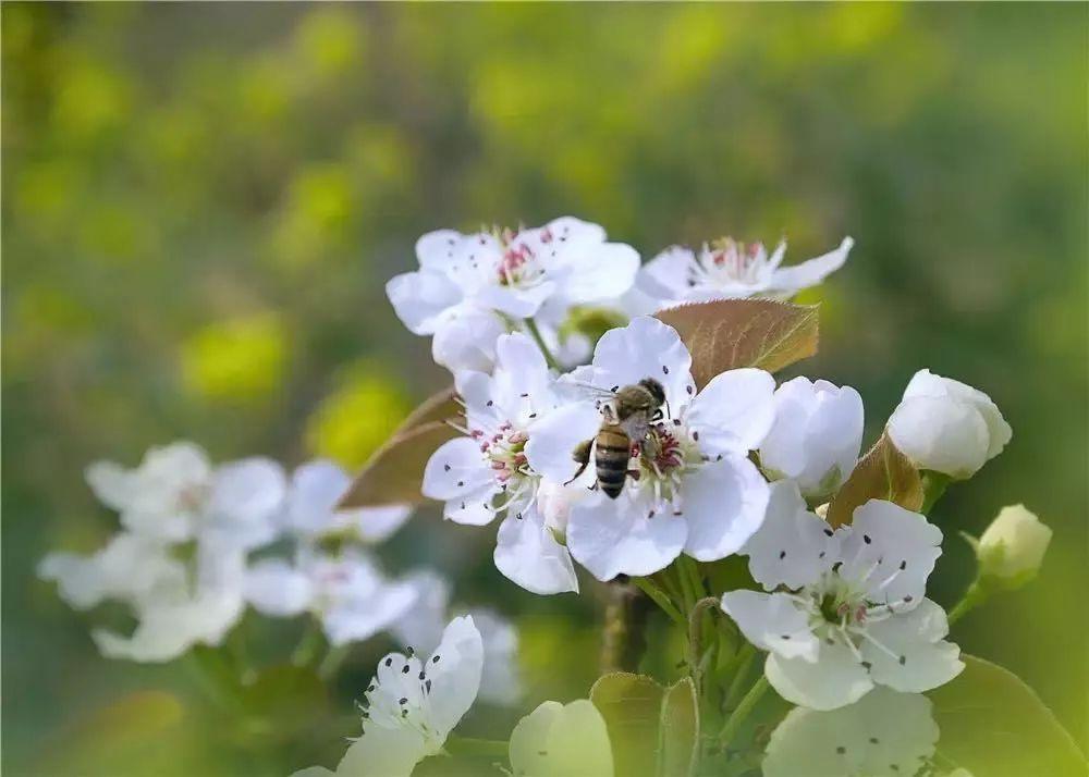 恒北此时梨花盛开,绿树成荫,粘揉着青草芬芳的空气清新整个肺部;蓝天