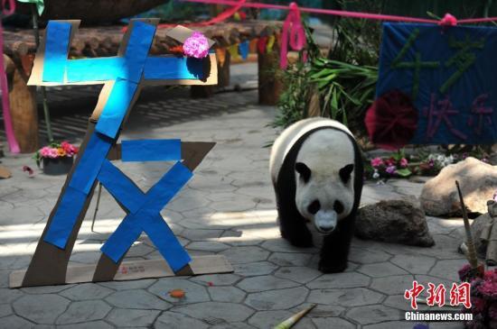 中国圈养大熊猫种群数量突破500只 野生近2000只