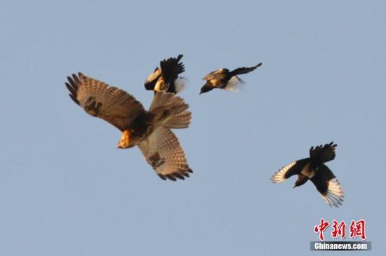 """图为多只喜鹊正在空中试图""""摈除""""猛禽。 中新社收 王海滨 摄 图片滥觞:CNSPHOTO"""